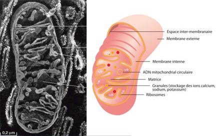 Secrets de notre ADN manipulé ... dans Origine ExtraTerrestre mitochondriecor2